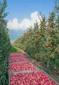 Apple Plantation,South Tyrol,Trentino,Italy