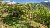 traditional Wine Growing,South Tyrol,Trentino,Italy
