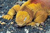 Red Dragon. Land Iguana. Conolophus Subcristatus