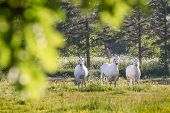 White Horses In Flower Meadow