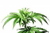 stock photo of ganja  - A Genuine Medical Marijuana Plant - JPG