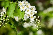 Beautiful Spring Blossoming Bird Cherry  Tree