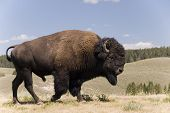 Great American Buffalo Male At Yellowstone N.p. - 1