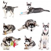 pic of hairy tongue  - Collage of cute husky puppy isolated on white - JPG