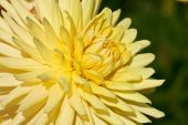 Aster amarelo