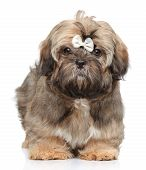 Shih Tzu Puppy On White Background