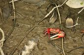 Red clawed fiddler crab