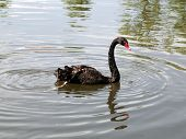 Black Swan On The Pond