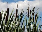 stock photo of cattail  - Cattails growing beside a small water - JPG