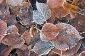 Congelados hojas marrones