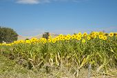 Sunflowers By Highway In Waikato.