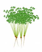stock photo of chinese parsley  - Vegetable and Herb Vector Illustration of Bunch of Fresh Parsley Chinese Parsley or Coriander Isolated on White Background - JPG