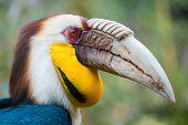 Wreathed hornbill (Rhyticeros undulatus)