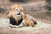 foto of female buffalo  - Male African lion growling at his cub - JPG