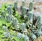 Sedum Plants Among Weeds