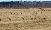 Spring Time  Of Migratory Geese