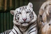 image of tigers-eye  - White tiger with blue eyes relaxing in zoo - JPG