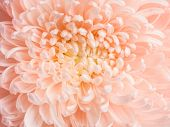 Fresh blooming light peachy chrysanthemum. Closeup natural floral background.