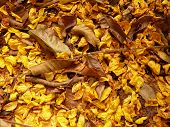 stock photo of lapacho  - Yellow autumn leaves of lapacho as texture - JPG