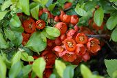 Blossoming quince Japanese Top View Outdoor