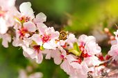 Bee and flowering cherry