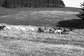 Goats Running On The Field In Black And White