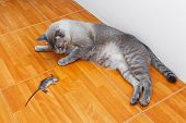 pic of dead mouse  - Close up Thai cat kill rat or mouse on ceramic floor tiles - JPG