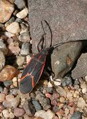 Boxelder Bug On Gravel2