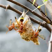 Thai Hymenoptera