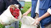 Fresh Red Pepper Harvest
