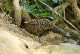 picture of female peacock  - beautiful female gray peacock - JPG