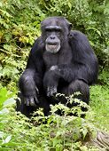 Senior adult chimpanzee deep in thought