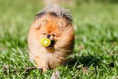 Pomeranian Dog Playing With A Ball Toy On Green Grass In The Garden