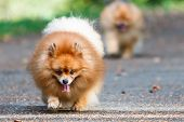 Two Pomeranian Dogs Walking On The Road In The Garden