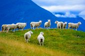 Flock of sheeps on the hill