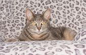 stock photo of blue tabby  - Cute blue tabby cat resting on a chair - JPG