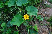 Pumpkin stem with yellow flower