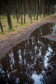 Pine forest reflected in a puddle.