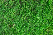 Green Moss For Background Texture