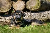 German Shepherd Dog In Front Of Woodpile