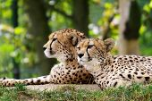image of cheetah  - Cheetahs in nature, beautiful beast, animals, deciduous trees