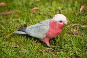 Galah cockatoo (Eolophus roseicapilla) is a common parrot of Australia. On the picture he is looking
