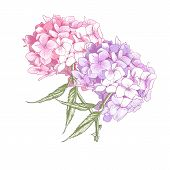 pic of hydrangea  - Beautiful Pink Hydrangea Vintage Botanical Vector Illustration on White Background - JPG