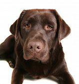 a chocolate lab pouting isolated on a white background