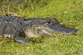 American Alligator In The Wetland