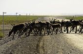 stock photo of caribou  - A herd of caribou crossing the road