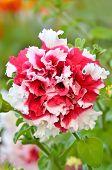 stock photo of petunia  - Petunia flower in garden close up view - JPG