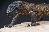 picture of terrestrial animal  - The Beaded lizard is the biggest species of the true venomous lizards - JPG