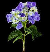 Hyndrangea Hortensia Flower with water drops close up on black background