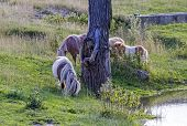 Four Ponies On The Meadow